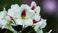 Rododendrony změnily vzhled zahrad minulého století